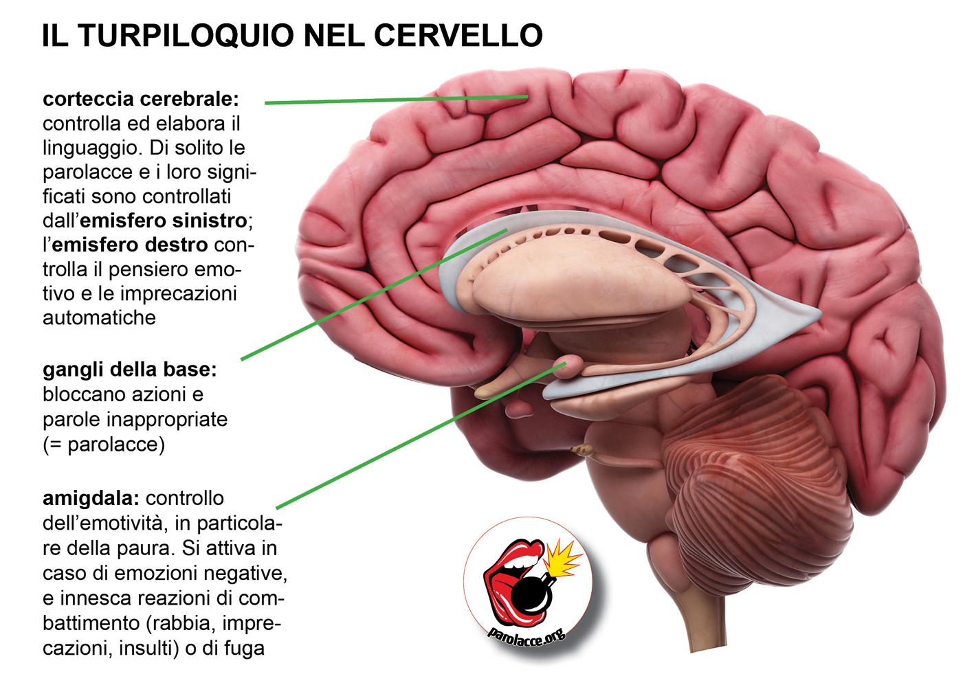 cervellob