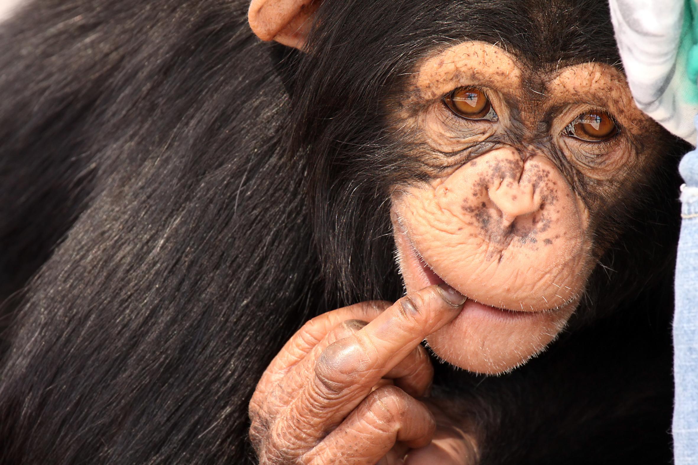 Scoperta Anche Le Scimmie Possono Insultare